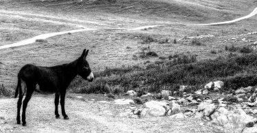 Nicolas Cavaillès, Le mort sur l'âne