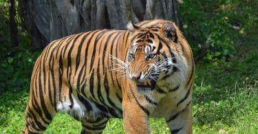Mochtar Lubis, Tigre! Tigre!